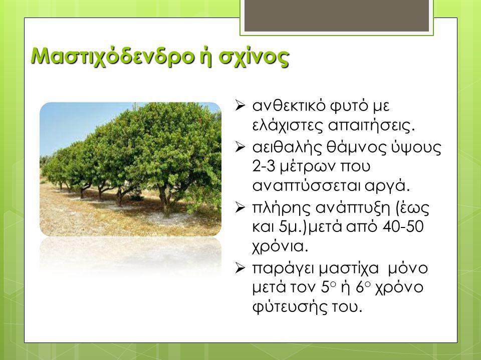  ανθεκτικό φυτό με ελάχιστες απαιτήσεις.  αειθαλής θάμνος ύψους 2-3 μέτρων που αναπτύσσεται αργά.  πλήρης ανάπτυξη (έως και 5μ.)μετά από 40-50 χρόν