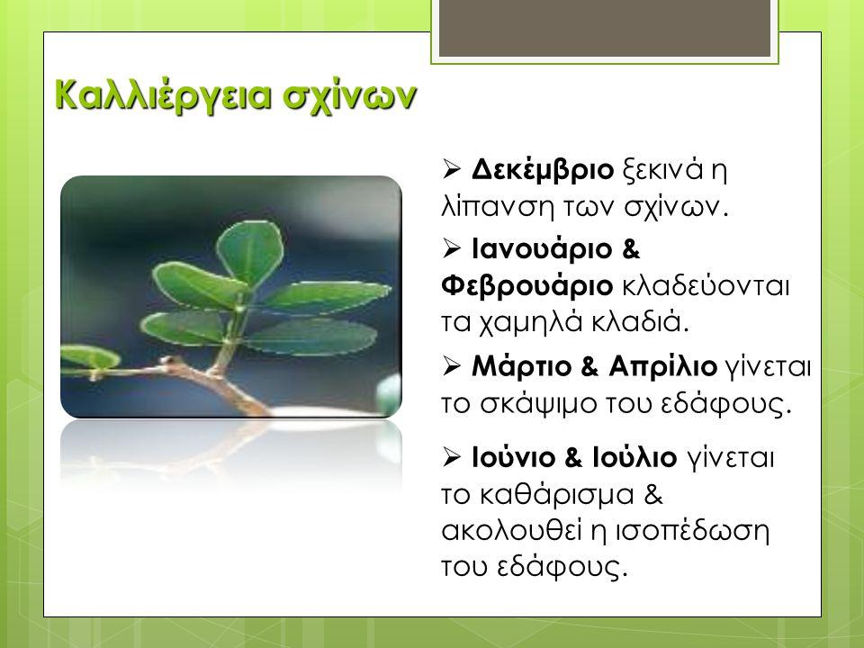 Μανταρίνι Χίου – «Π.Γ.Ε» Πρόσφατα (Δεκέμβρη 2012) η Ευρωπαϊκή Ένωση το αναγνώρισε ως «Προϊόν Γεωγραφικής Προέλευσης – Π.Γ.Ε.».