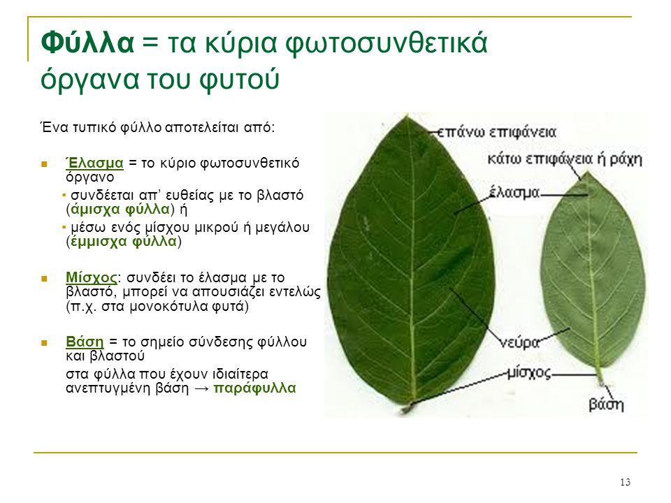 13 Φύλλα = τα κύρια φωτοσυνθετικά όργανα του φυτού Ένα τυπικό φύλλο αποτελείται από: Έλασμα = το κύριο φωτοσυνθετικό όργανο ▪ συνδέεται απ' ευθείας με