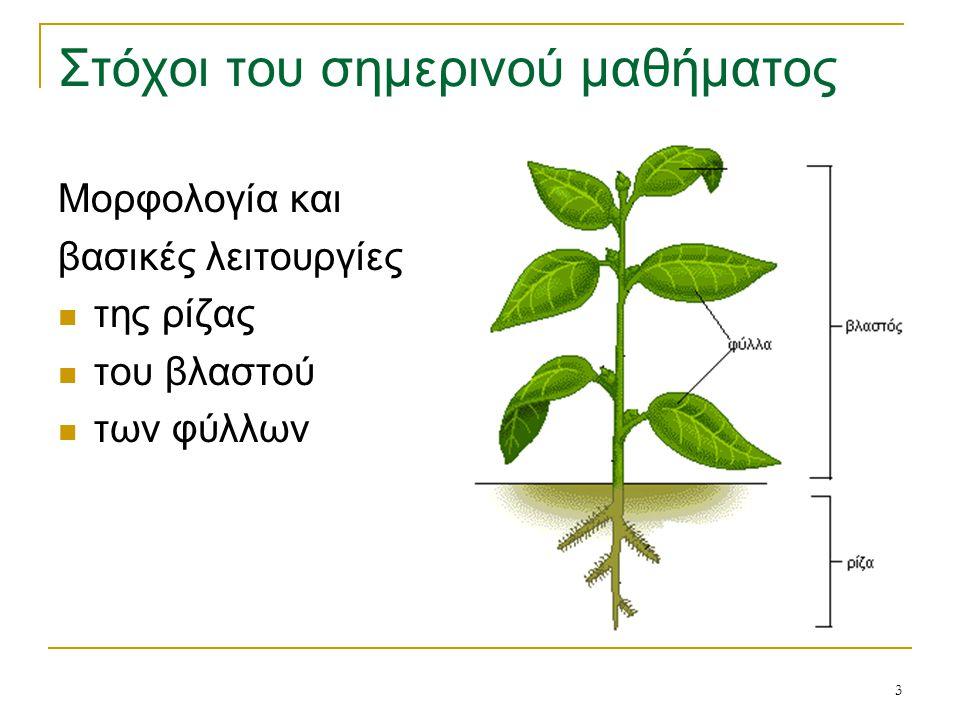 4 Εισαγωγή Το φυτικό σώμα διακρίνεται σε: υπέργειο μέρος = βλαστός υπόγειο μέρος = ρίζα Το ένα είναι συνέχεια του άλλου, κατά μήκος ενός κεντρικού άξονα: κορμός στα πολυετή ξυλώδη φυτά ή στέλεχος στα ετήσια ή πολυετή ποώδη φυτά Από τις διακλαδώσεις της ρίζας → ριζικό σύστημα του φυτού: διακλαδώνεται έντονα και αναπτύσσεται σε μέγεθος ανάλογο με το υπέργειο μέρος του φυτού