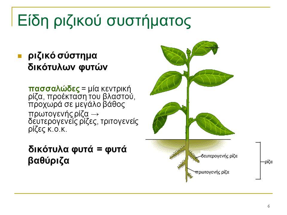 7 Είδη ριζικού συστήματος ριζικό σύστημα μονοκότυλων φυτών θυσανώδες = σύνολο πολλών βλαστογενών ριζών που αναπτύσσονται από τα κατώτερα μεσογονάτια διαστήματα του βλαστού που βρίσκονται κοντά στο έδαφος δεν εισχωρεί σε μεγάλα βάθη, είναι όμως καλύτερα και πιο πλούσια δικτυωμένο στο έδαφος → τα φυτά αξιοποιούν καλύτερα και γρηγορότερα την ανόργανη λίπανση μονοκότυλα φυτά = φυτά επιπολαιόριζα