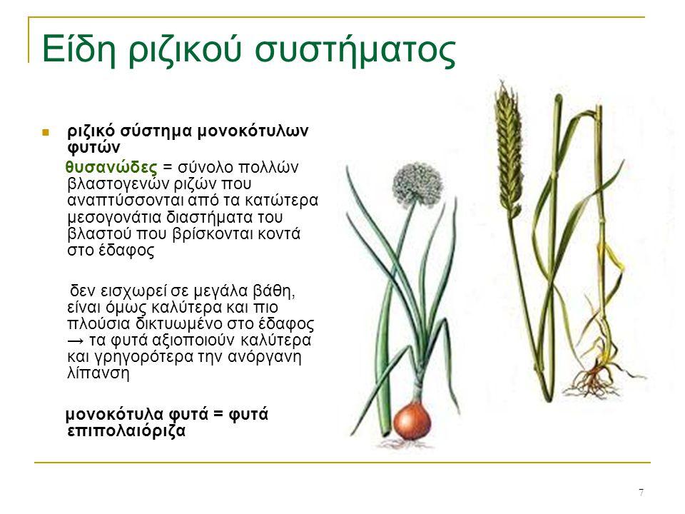 7 Είδη ριζικού συστήματος ριζικό σύστημα μονοκότυλων φυτών θυσανώδες = σύνολο πολλών βλαστογενών ριζών που αναπτύσσονται από τα κατώτερα μεσογονάτια δ