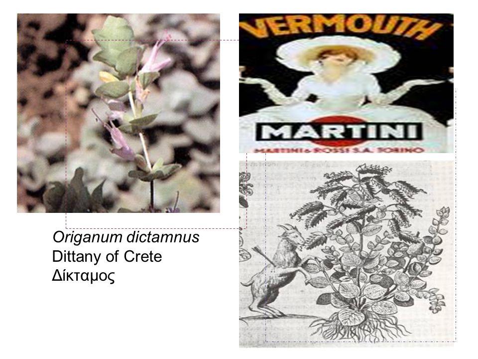 Origanum dictamnus Dittany of Crete Δίκταμος