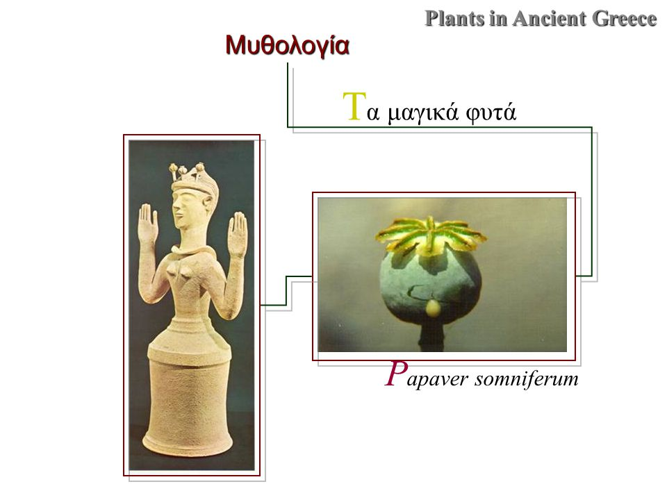 Plants in Ancient Greece Μυθολογία T α μαγικά φυτά P apaver somniferum