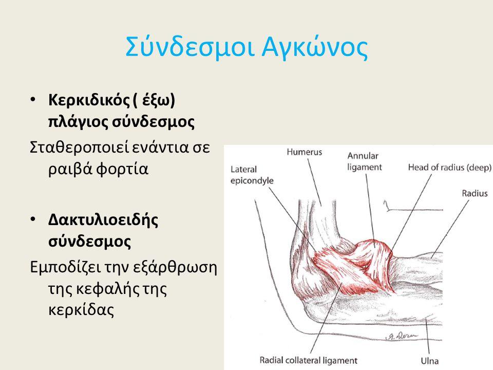 Σύνδεσμοι Αγκώνος Κερκιδικός ( έξω) πλάγιος σύνδεσμος Σταθεροποιεί ενάντια σε ραιβά φορτία Δακτυλιοειδής σύνδεσμος Εμποδίζει την εξάρθρωση της κεφαλής