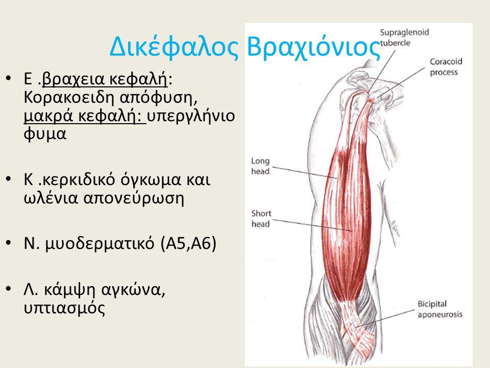 Ε.βραχεια κεφαλή: Κορακοειδη απόφυση, μακρά κεφαλή: υπεργλήνιο φυμα Κ.κερκιδικό όγκωμα και ωλένια απονεύρωση Ν. μυοδερματικό (Α5,Α6) Λ. κάμψη αγκώνα,