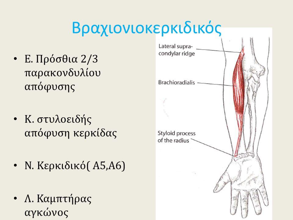 Ε. Πρόσθια 2/3 παρακονδυλίου απόφυσης Κ. στυλοειδής απόφυση κερκίδας Ν. Κερκιδικό( Α5,Α6) Λ. Καμπτήρας αγκώνος Βραχιονιοκερκιδικός