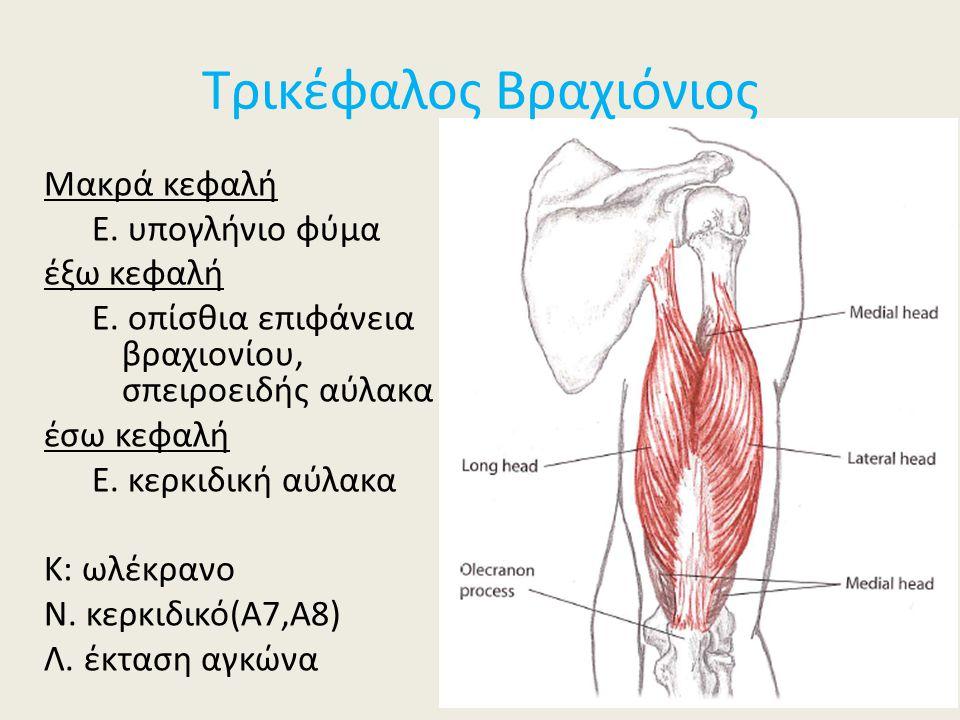 Τρικέφαλος Βραχιόνιος Μακρά κεφαλή Ε. υπογλήνιο φύμα έξω κεφαλή Ε. οπίσθια επιφάνεια βραχιονίου, σπειροειδής αύλακα έσω κεφαλή Ε. κερκιδική αύλακα Κ: