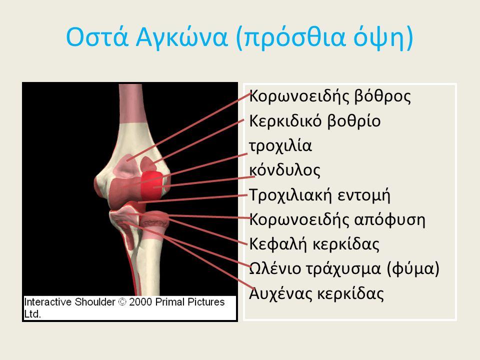 Οστά Αγκώνα (πρόσθια όψη) Κορωνοειδής βόθρος Κερκιδικό βοθρίο τροχιλία κόνδυλος Τροχιλιακή εντομή Κορωνοειδής απόφυση Κεφαλή κερκίδας Ωλένιο τράχυσμα