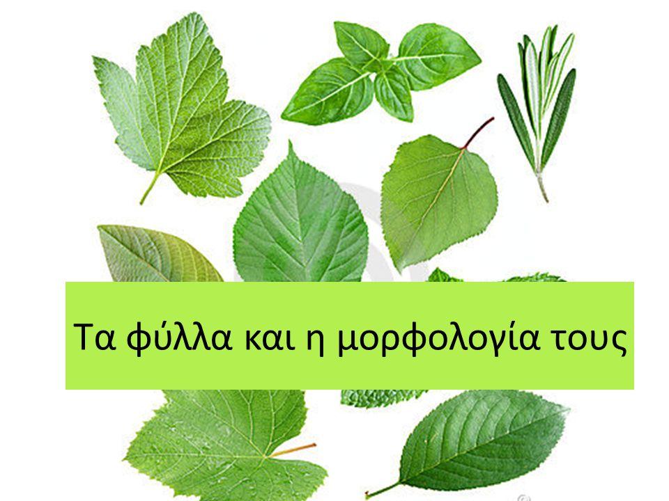 Φύλλα = κύρια φωτοσυνθετικά όργανα του φυτού Ένα τυπικό φύλλο αποτελείται από τα εξής μέρη:  Έλασμα: Επίπεδη κατασκευή, μεγάλης επιφάνειας, που αποτελεί το κύριο φωτοσυνθετικό όργανο.