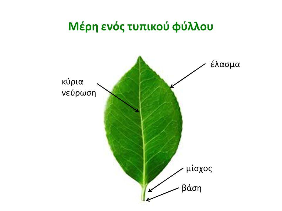 Κατηγορίες των φύλλων με βάση τη μορφολογία του ελάσματος  Απλά φύλλα: Έλασμα με εγκολπώσεις (ελαφριές ή βαθιές) ή χωρίς, ενιαίο, με διάφορα σχήματα ανάλογα με τον αριθμό και το βάθος των εγκολπώσεων, συνήθως συμμετρικό.