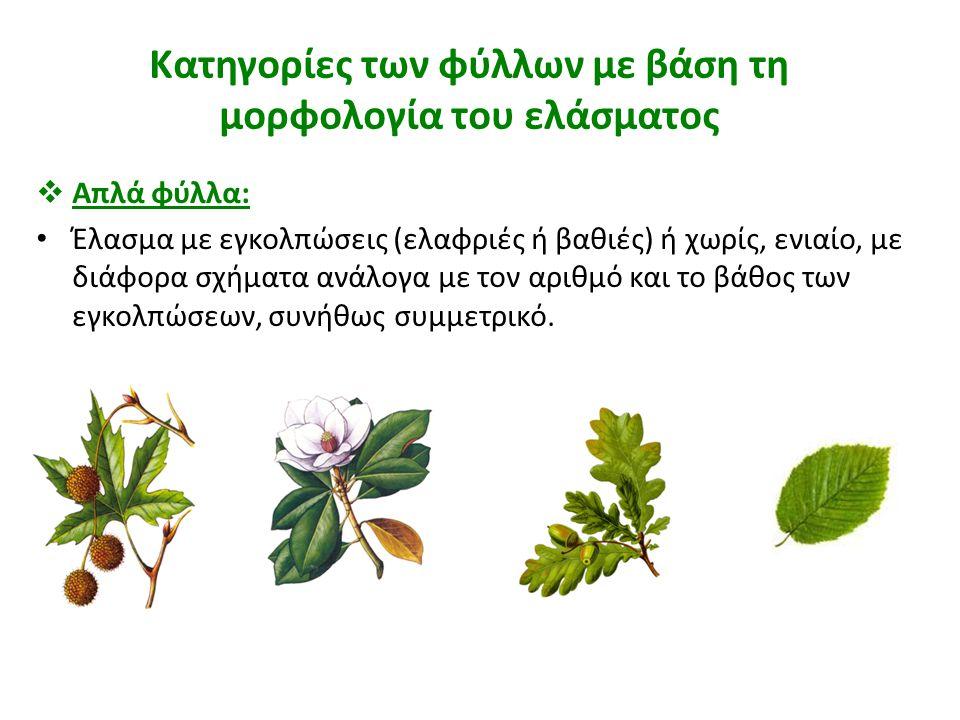 Κατηγορίες των φύλλων με βάση τη μορφολογία του ελάσματος  Απλά φύλλα: Έλασμα με εγκολπώσεις (ελαφριές ή βαθιές) ή χωρίς, ενιαίο, με διάφορα σχήματα