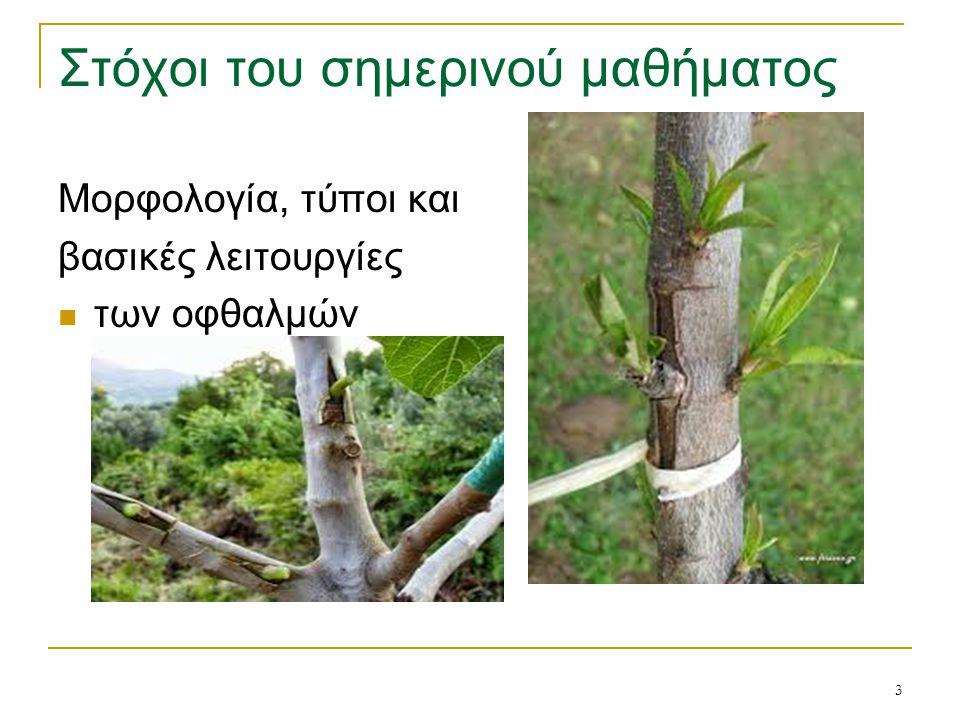4 Οφθαλμοί = τα όργανα του φυτού από τα οποία προκύπτει η νέα βλάστηση και η ανθοφορία ανάλογα με τη θέση που βρίσκονται διακρίνονται σε: ακραίοι ή κορυφαίοι → στην κορυφή του βλαστού πλάγιοι ή μασχαλιαίοι → πλευρικά στα γόνατα παράπλευροι → δύο ή τρεις πλάγιοι οφθαλμοί, ο ένας δίπλα στον άλλο, στο ίδιο γόνατο επίκτητοι → σε άλλα σημεία του βλαστού εκτός από τα γόνατα (σπάνιο φαινόμενο) όταν καταστραφούν οι κανονικοί οφθαλμοί ή γίνει ένα αυστηρό κλάδεμα