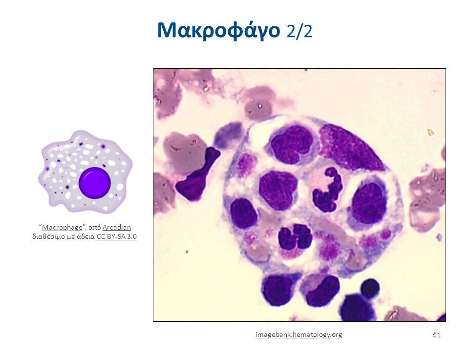 """Μακροφάγο 2/2 41 imagebank.hematology.org """"Macrophage"""", από Arcadian διαθέσιμο με άδεια CC BY-SA 3.0MacrophageArcadianCC BY-SA 3.0"""