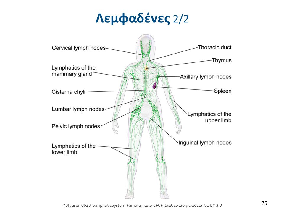 Λεμφαδένες 2/2 75 Blausen 0623 LymphaticSystem Female , από CFCF διαθέσιμο με άδεια CC BY 3.0Blausen 0623 LymphaticSystem FemaleCFCFCC BY 3.0