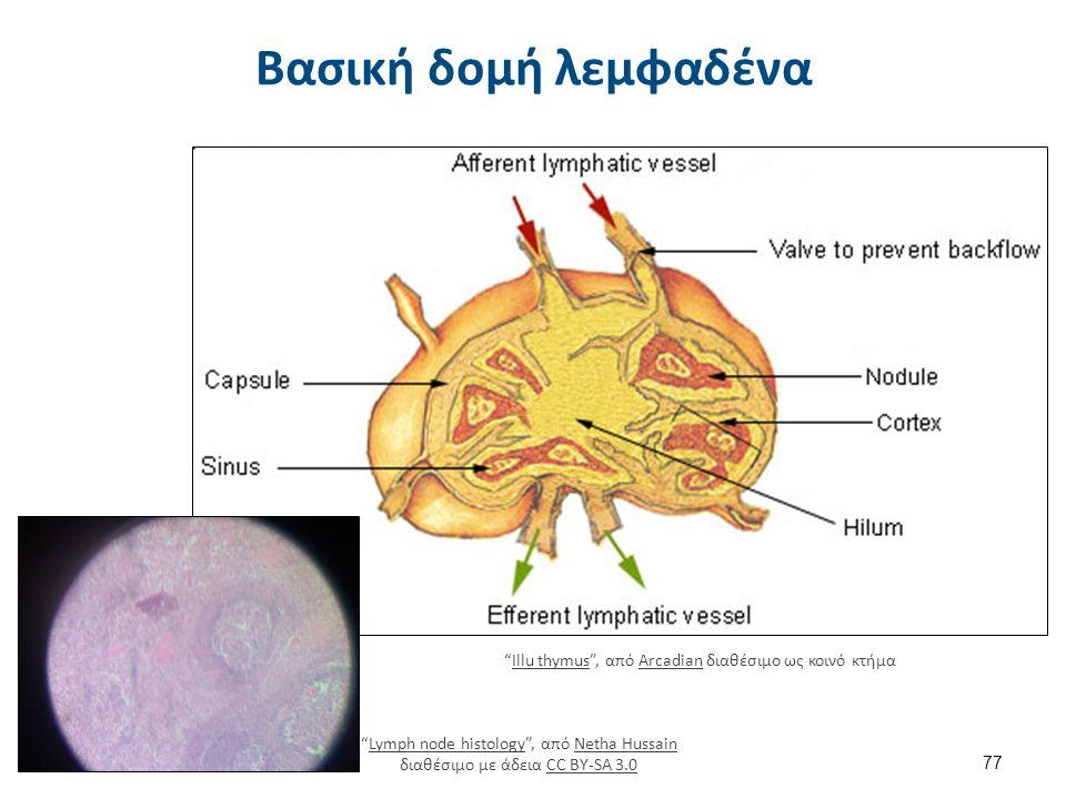 """Βασική δομή λεμφαδένα 77 """"Illu thymus"""", από Arcadian διαθέσιμο ως κοινό κτήμαIllu thymusArcadian """"Lymph node histology"""", από Netha Hussain διαθέσιμο μ"""