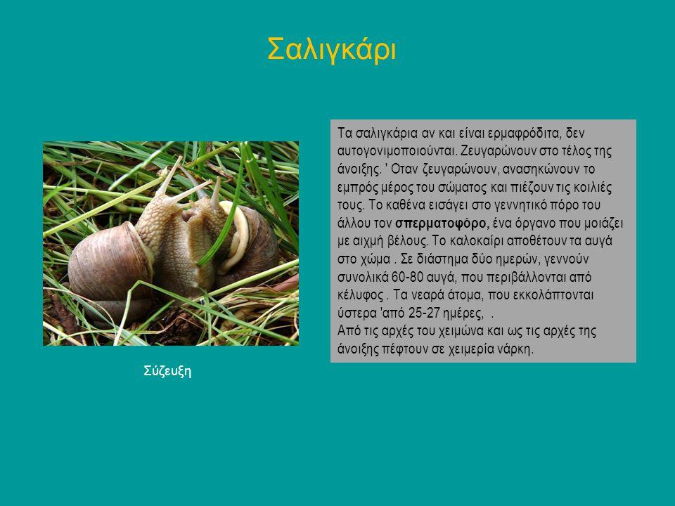 Τα σαλιγκάρια αν και είναι ερμαφρόδιτα, δεν αυτογονιμοποιούνται. Ζευγαρώνουν στο τέλος της άνοιξης. ' Οταν ζευγαρώνουν, ανασηκώνουν το εμπρός μέρος το