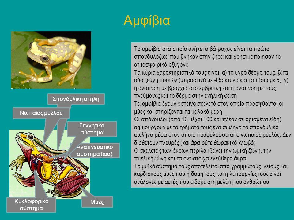 Αμφίβια Τα αμφίβια στα οποία ανήκει ο βάτραχος είναι τα πρώτα σπονδυλόζωα που βγήκαν στην ξηρά και χρησιμοποίησαν το ατμοσφαιρικό οξυγόνο Τα κύρια χαρ