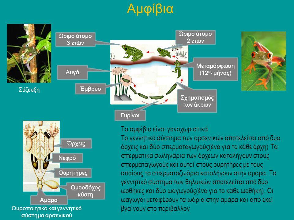 Τα αμφίβια είναι γονοχωριστικά Το γεννητικό σύστημα των αρσενικών αποτελείται από δύο όρχεις και δύο σπερματαγωγούς(ένα για το κάθε όρχη) Τα σπερματικ