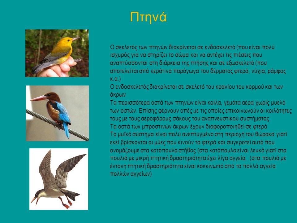 Πτηνά Ο σκελετός των πτηνών διακρίνεται σε ενδοσκελετό (που είναι πολύ ισχυρός για να στηρίζει το σώμα και να αντέχει τις πιέσεις που αναπτύσσονται στ