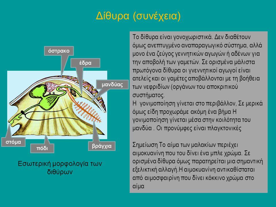 Δίθυρα (συνέχεια) Το δίθυρα είναι γονοχωριστικά. Δεν διαθέτουν όμως ανεπτυγμένο αναπαραγωγικό σύστημα, αλλά μονο ένα ζεύγος γεννητικών αγωγών ή αδένων