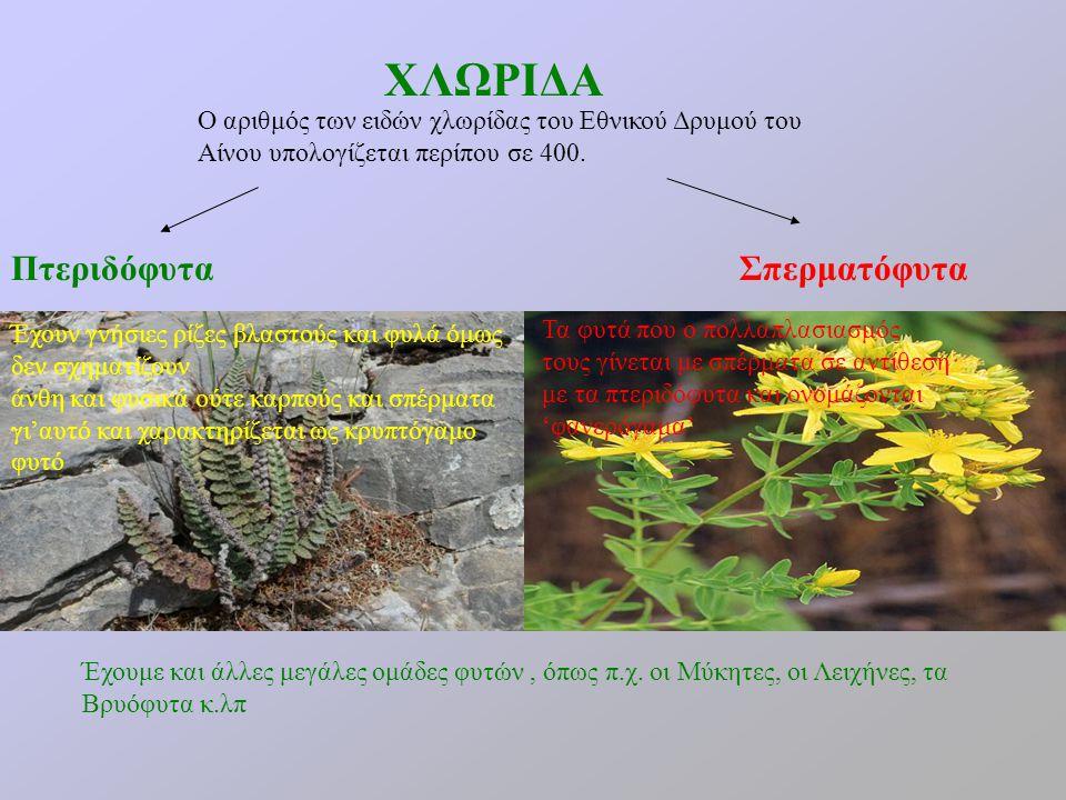 ΧΛΩΡΙΔΑ Σπερματόφυτα Έχουμε και άλλες μεγάλες ομάδες φυτών, όπως π.χ. οι Μύκητες, οι Λειχήνες, τα Βρυόφυτα κ.λπ Πτεριδόφυτα Ο αριθμός των ειδών χλωρίδ