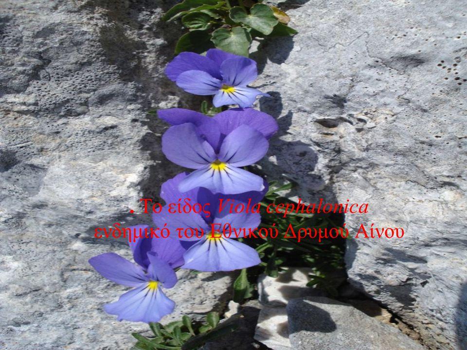 . Το είδος Viola cephalonica ενδημικό του Εθνικού Δρυμού Αίνου