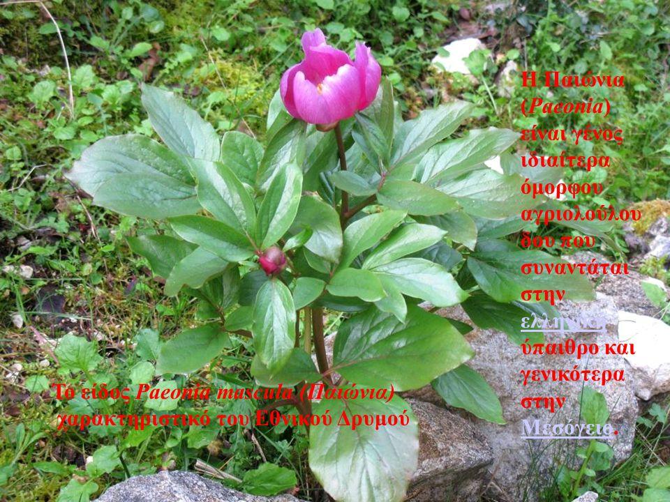 . Το είδος Paeonia mascula (Παιώνια) χαρακτηριστικό του Εθνικού Δρυμού Η Παιώνια (Paeonia) είναι γένος ιδιαίτερα όμορφου αγριολούλου δου που συναντάτα