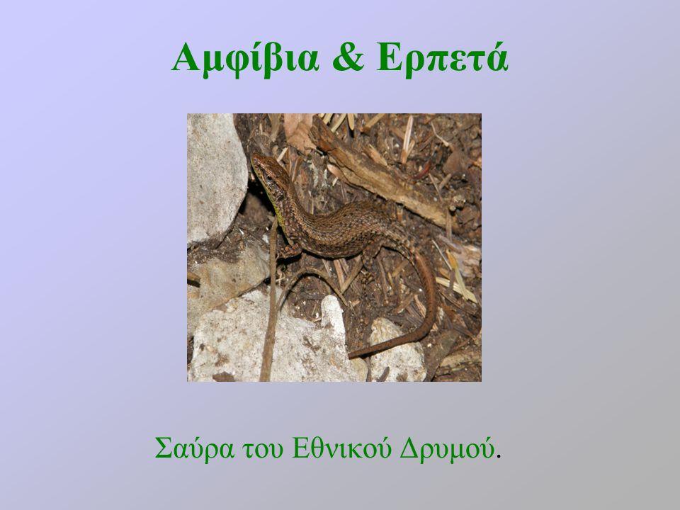 Αμφίβια & Ερπετά Σαύρα του Εθνικού Δρυμού.