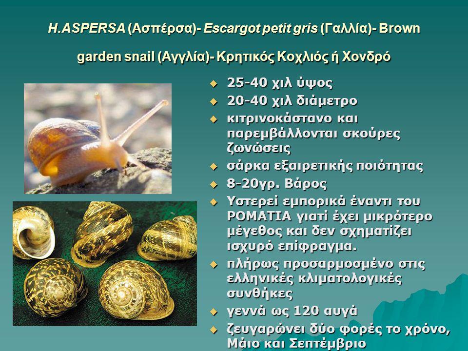 Η.ASPERSA (Ασπέρσα)- Escargot petit gris (Γαλλία)- Brown garden snail (Αγγλία)- Κρητικός Κοχλιός ή Χονδρό  25-40 χιλ ύψος  20-40 χιλ διάμετρο  κιτρ