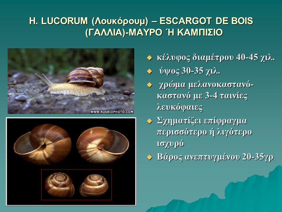 H. LUCORUM (Λουκόρουμ) – ESCARGOT DE BOIS (ΓΑΛΛΙΑ)-ΜΑΥΡΟ Ή ΚΑΜΠΙΣΙΟ  κέλυφος διαμέτρου 40-45 χιλ.  ύψος 30-35 χιλ.  χρώμα μελανοκαστανό- καστανό με