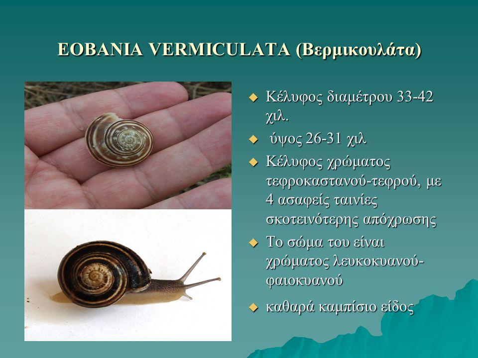ΕOBANIA VERMICULATA (Βερμικουλάτα)  Κέλυφος διαμέτρου 33-42 χιλ.  ύψος 26-31 χιλ  Κέλυφος χρώματος τεφροκαστανού-τεφρού, με 4 ασαφείς ταινίες σκοτε