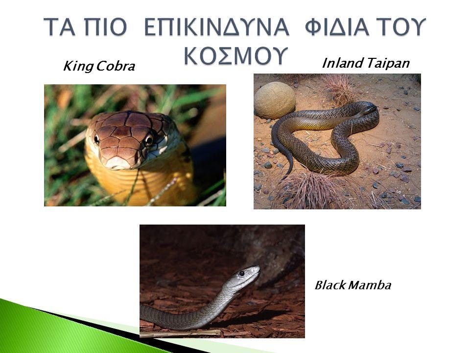 King Cobra Inland Taipan Black Mamba