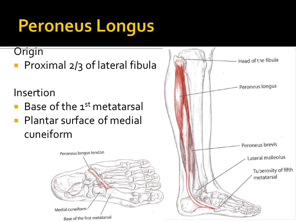 Origin  Proximal 2/3 of lateral fibula Insertion  Base of the 1 st metatarsal  Plantar surface of medial cuneiform
