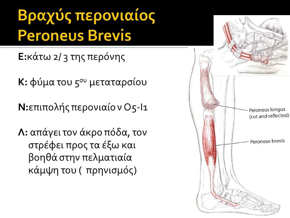 Ε:κάτω 2/ 3 της περόνης Κ: φύμα του 5 ου μεταταρσίου Ν:επιπολής περονιαίο ν Ο5-Ι1 Λ: απάγει τον άκρο πόδα, τον στρέφει προς τα έξω και βοηθά στην πελματιαία κάμψη του ( πρηνισμός)