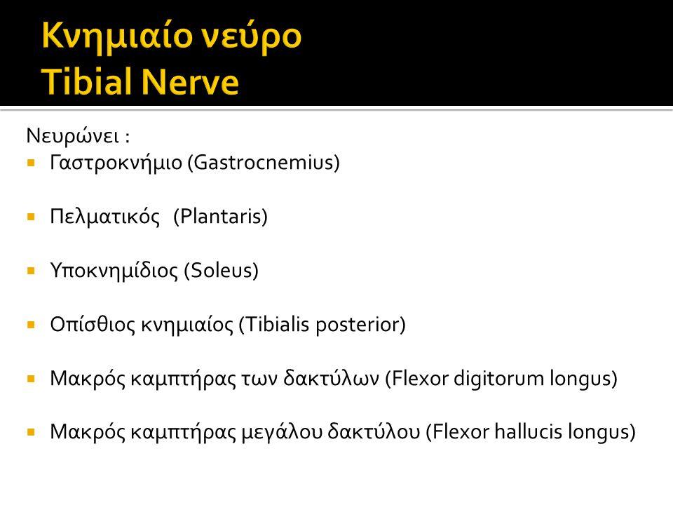 Νευρώνει :  Γαστροκνήμιο (Gastrocnemius)  Πελματικός (Plantaris)  Υποκνημίδιος (Soleus)  Οπίσθιος κνημιαίος (Tibialis posterior)  Μακρός καμπτήρας των δακτύλων (Flexor digitorum longus)  Μακρός καμπτήρας μεγάλου δακτύλου (Flexor hallucis longus)