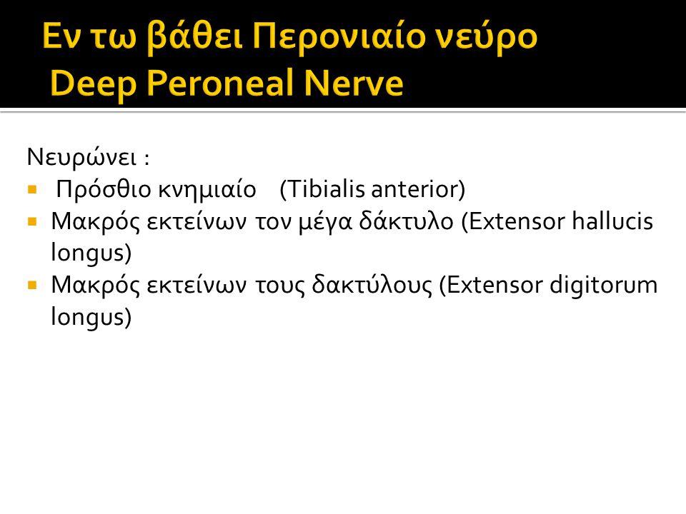 Νευρώνει :  Πρόσθιο κνημιαίο (Tibialis anterior)  Μακρός εκτείνων τον μέγα δάκτυλο (Extensor hallucis longus)  Μακρός εκτείνων τους δακτύλους (Extensor digitorum longus)