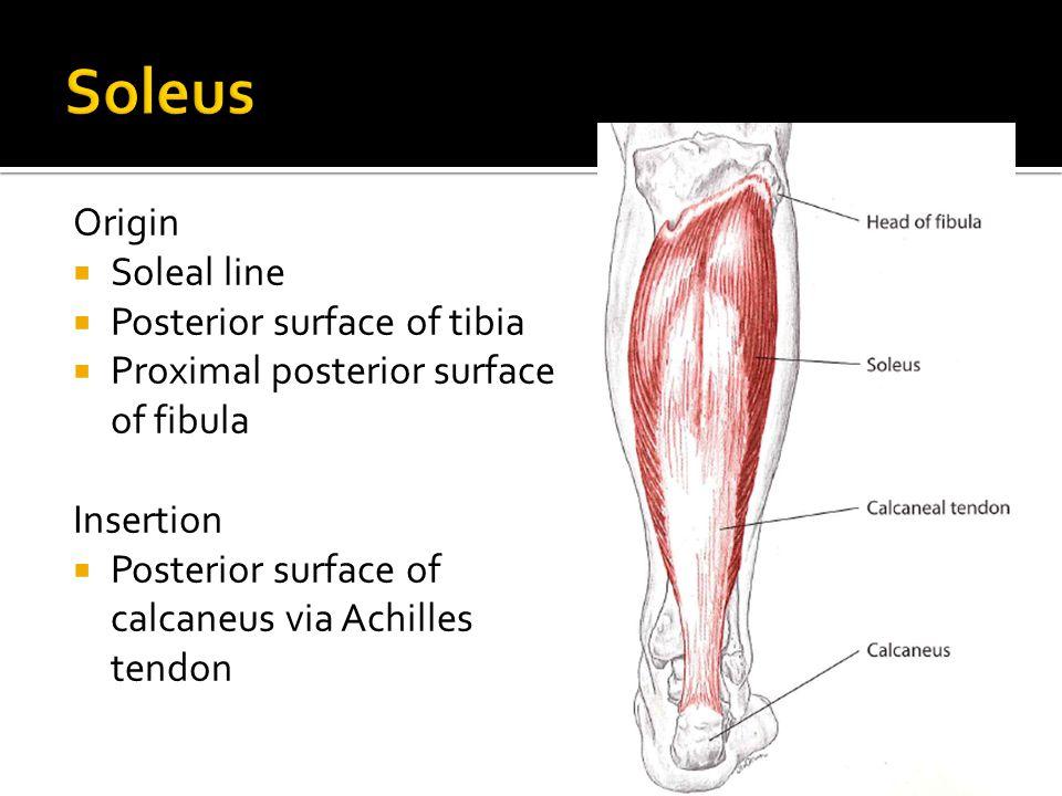 Origin  Soleal line  Posterior surface of tibia  Proximal posterior surface of fibula Insertion  Posterior surface of calcaneus via Achilles tendo