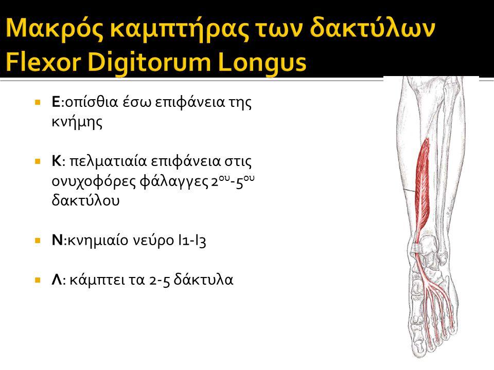  Ε:οπίσθια έσω επιφάνεια της κνήμης  Κ: πελματιαία επιφάνεια στις ονυχοφόρες φάλαγγες 2 ου -5 ου δακτύλου  Ν:κνημιαίο νεύρο Ι1-Ι3  Λ: κάμπτει τα 2-5 δάκτυλα