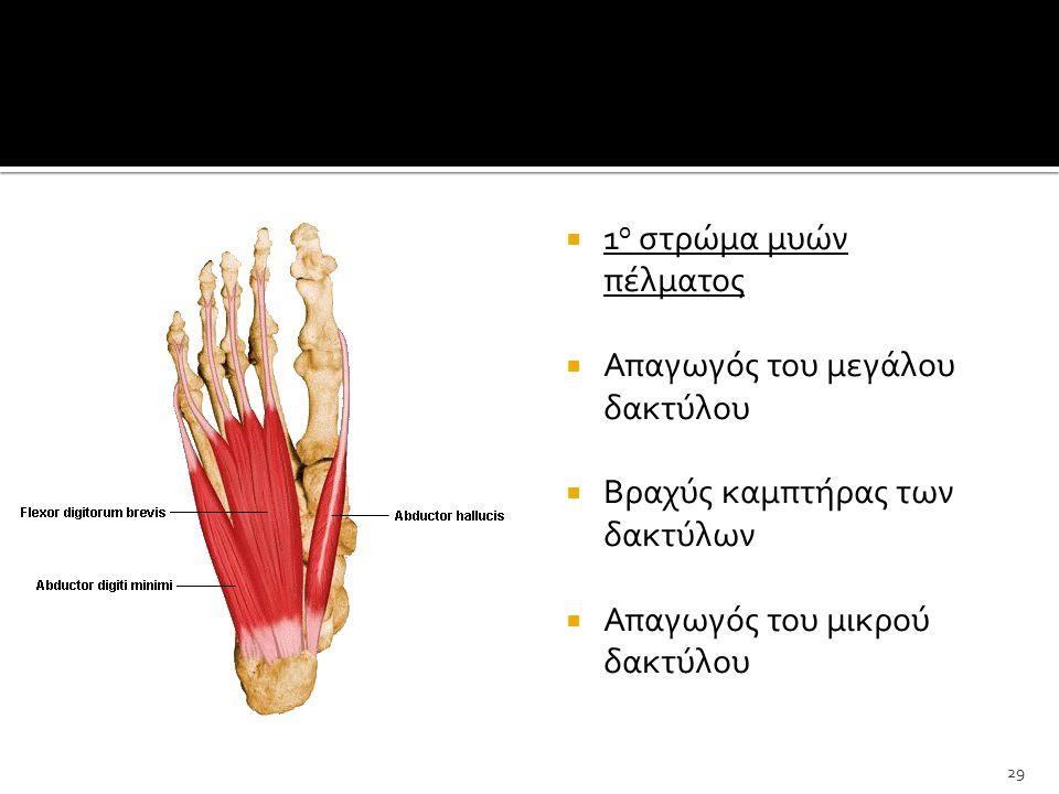  1 ο στρώμα μυών πέλματος  Απαγωγός του μεγάλου δακτύλου  Βραχύς καμπτήρας των δακτύλων  Απαγωγός του μικρού δακτύλου 29