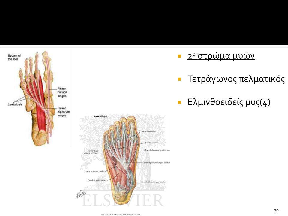  2 ο στρώμα μυών  Τετράγωνος πελματικός  Ελμινθοειδείς μυς(4) 30