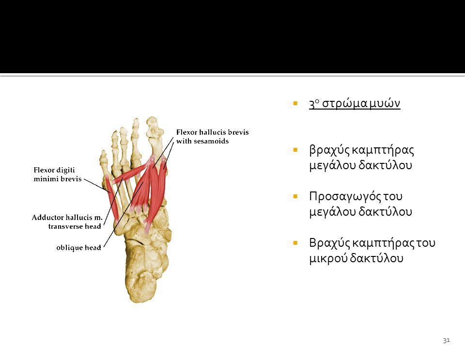  3 ο στρώμα μυών  βραχύς καμπτήρας μεγάλου δακτύλου  Προσαγωγός του μεγάλου δακτύλου  Βραχύς καμπτήρας του μικρού δακτύλου 31