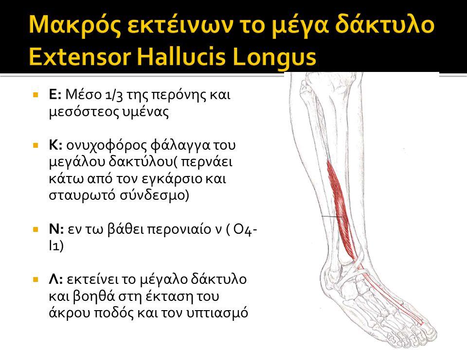  Ε: Μέσο 1/3 της περόνης και μεσόστεος υμένας  Κ: ονυχοφόρος φάλαγγα του μεγάλου δακτύλου( περνάει κάτω από τον εγκάρσιο και σταυρωτό σύνδεσμο)  Ν: εν τω βάθει περονιαίο ν ( Ο4- Ι1)  Λ: εκτείνει το μέγαλο δάκτυλο και βοηθά στη έκταση του άκρου ποδός και τον υπτιασμό