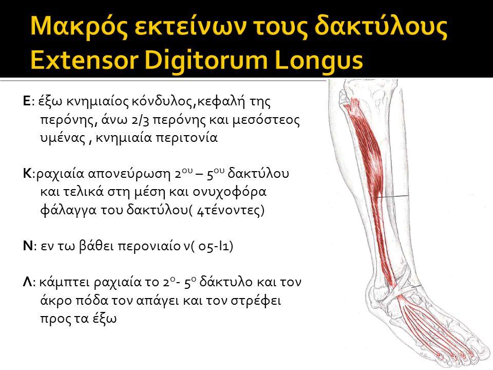 Ε: έξω κνημιαίος κόνδυλος,κεφαλή της περόνης, άνω 2/3 περόνης και μεσόστεος υμένας, κνημιαία περιτονία Κ:ραχιαία απονεύρωση 2 ου – 5 ου δακτύλου και τελικά στη μέση και ονυχοφόρα φάλαγγα του δακτύλου( 4τένοντες) Ν: εν τω βάθει περονιαίο ν( ο5-Ι1) Λ: κάμπτει ραχιαία το 2 ο - 5 ο δάκτυλο και τον άκρο πόδα τον απάγει και τον στρέφει προς τα έξω