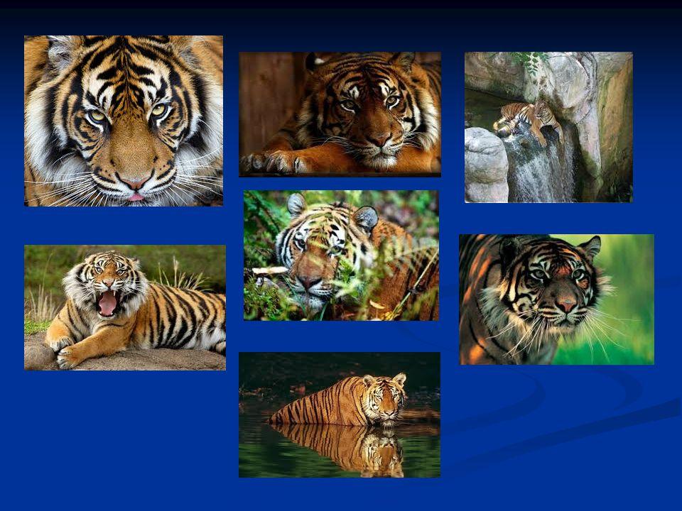 Συνήθειες Στη φύση, οι τίγρεις τρέφονται κυρίως με μεγάλα και μεσαίου μεγέθους ζώα και, οι περισσότερες μελέτες δείχνουν, ότι έχουν μια προτίμηση στα ιθαγενή Οπληφόρα που ζυγίζουν 90 κιλά, τουλάχιστον.[74][75] Στη φύση, οι τίγρεις τρέφονται κυρίως με μεγάλα και μεσαίου μεγέθους ζώα και, οι περισσότερες μελέτες δείχνουν, ότι έχουν μια προτίμηση στα ιθαγενή Οπληφόρα που ζυγίζουν 90 κιλά, τουλάχιστον.[74][75]Οπληφόρα[74][75]Οπληφόρα[74][75] Τα ελάφια Σαμπάρ (Rusa unicolor), Σίκα (Cervus nippon), Τσιτάλ (Axis axis) και Μπαρασίνγκα (Rucervus duvaucelii), ταΑγριογούρουνα (Sus scrofa), το βοοειδές Γκάουρ (Bos gaurus), η αντιλόπη Νιλγκάι (Boselaphus tragocamelus), ο άγριος Νεροβούβαλος (Bubalus arnee) καθώς και ο εξημερωμένος Νεροβούβαλος (Bubalus bubalis), αποτελούν κατά φθίνουσα σειρά προτίμησης, τα αγαπημένα θηράματα της τίγρης στην Ινδία.[75 ] Τα ελάφια Σαμπάρ (Rusa unicolor), Σίκα (Cervus nippon), Τσιτάλ (Axis axis) και Μπαρασίνγκα (Rucervus duvaucelii), ταΑγριογούρουνα (Sus scrofa), το βοοειδές Γκάουρ (Bos gaurus), η αντιλόπη Νιλγκάι (Boselaphus tragocamelus), ο άγριος Νεροβούβαλος (Bubalus arnee) καθώς και ο εξημερωμένος Νεροβούβαλος (Bubalus bubalis), αποτελούν κατά φθίνουσα σειρά προτίμησης, τα αγαπημένα θηράματα της τίγρης στην Ινδία.[75 ]ΣαμπάρΣίκαΤσιτάλΜπαρασίνγκαΑγριογούρουναΓκάουρΝιλγκάιΙνδία[75 ]ΣαμπάρΣίκαΤσιτάλΜπαρασίνγκαΑγριογούρουναΓκάουρΝιλγκάιΙνδία[75 ]
