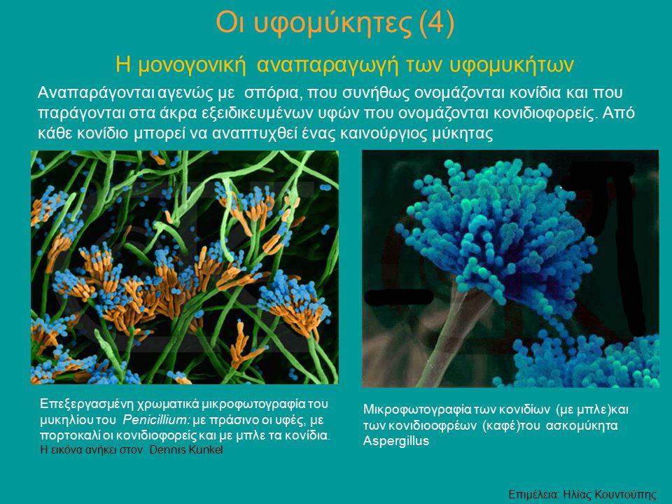 Οι υφομύκητες (4) Η μονογονική αναπαραγωγή των υφομυκήτων Αναπαράγονται αγενώς με σπόρια, που συνήθως ονομάζονται κονίδια και που παράγονται στα άκρα