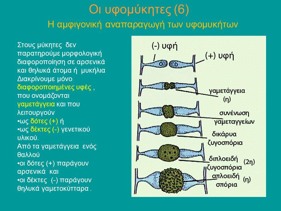 Οι υφομύκητες (6) Η αμφιγονική αναπαραγωγή των υφομυκήτων Στους μύκητες δεν παρατηρούμε μορφολογική διαφοροποίηση σε αρσενικά και θηλυκά άτομα ή μυκήλ
