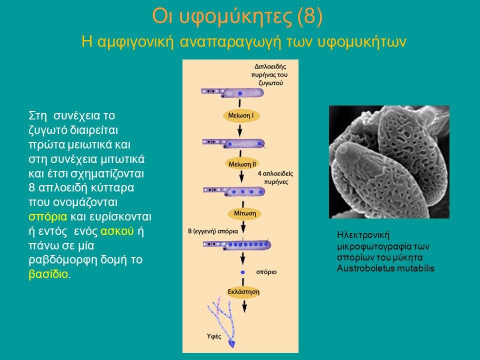 Στη συνέχεια το ζυγωτό διαιρείται πρώτα μειωτικά και στη συνέχεια μιτωτικά και έτσι σχηματίζονται 8 απλοειδή κύτταρα που ονομάζονται σπόρια και ευρίσκ