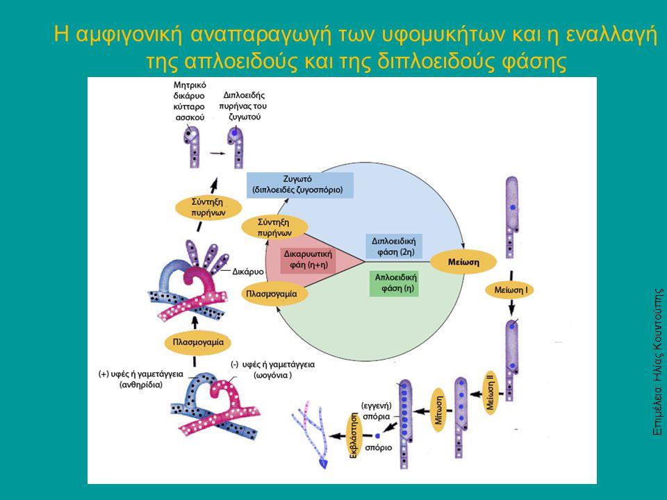 Η αμφιγονική αναπαραγωγή των υφομυκήτων και η εναλλαγή της απλοειδούς και της διπλοειδούς φάσης Επιμέλεια: Ηλίας Κουντούπης