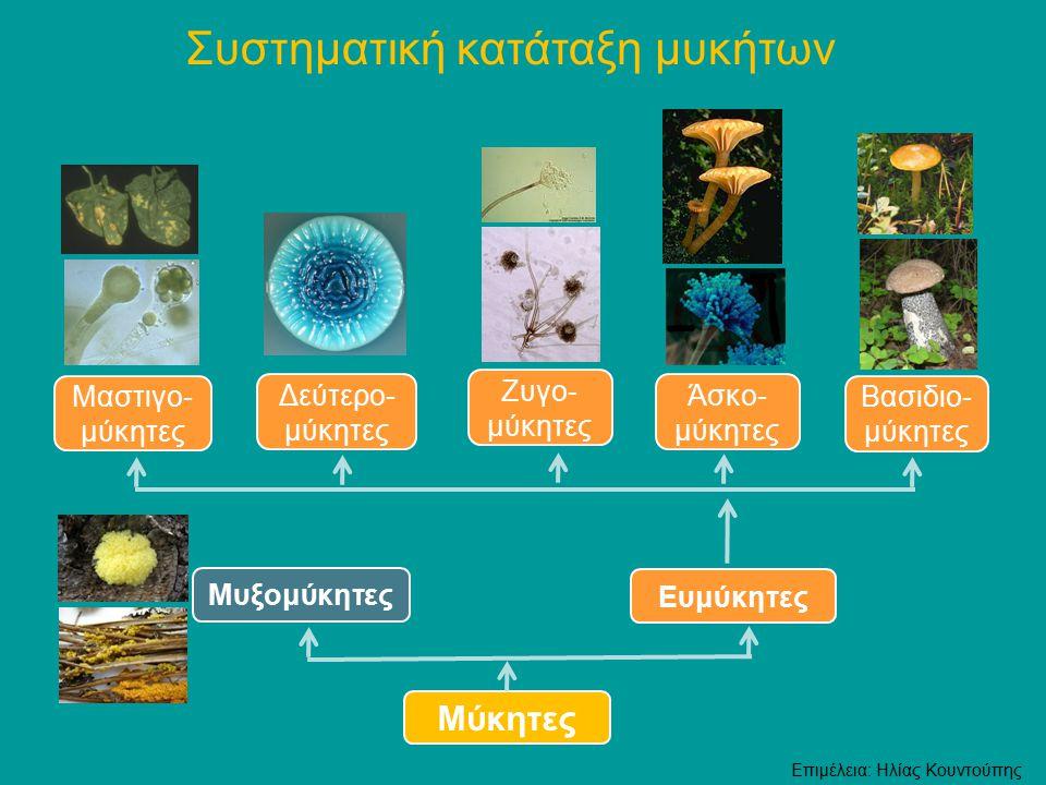 Οι μύκητες διακρίνονται μορφολογικά σε δύο μεγάλες κατηγορίες, Μορφολογική διάκριση των μυκήτων  τους ζυμομύκητες, όπως οι ζύμες Στην εικόνα φαίνεται η μαγιά του ψωμιού  τους υφομύκητες, όπως οι μούχλες Σημείωση Οι δίμορφοι μύκητες είναι μια τρίτη κατηγορία μυκήτων, που αναπτύσσονται ως ζυμομύκητες ή ως υφομύκητες ανάλογα με την θερμοκρασία περιβάλλοντος θερμοκρασία 37°C, ως ζυμομύκητες θερμοκρασία 25°C, ως υφομύκητες Επιμέλεια: Ηλίας Κουντούπης